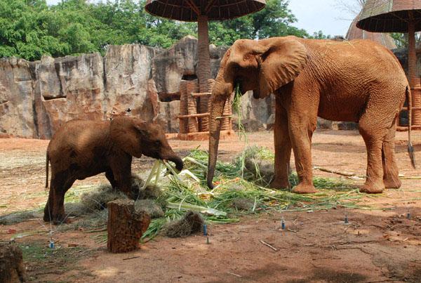 """น่ารักอะ...สวนสัตว์โคราชจัดเค้กผลไม้ยักษ์ฉลองวันเกิด """"เจ้าสีมา""""ลูกช้างแอฟริกาครบ 4 ปี"""
