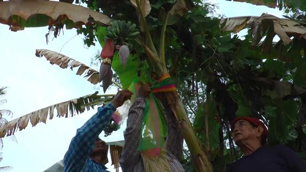 คนอุทัยฯ ตื่นแห่ขอหวยกล้วยหักมุก ต้นเดียวเครือเดียว 3 ปลี