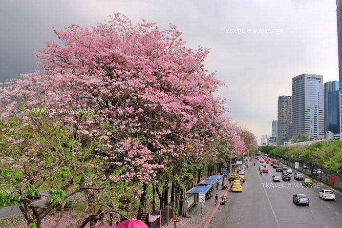 """กรุงเทพฯสีชมพู!!!...""""ชมพูพันธุ์ทิพย์""""บานสะพรั่งที่สวนจตุจักร ความงามรับร้อนอันน่ารื่นรมย์"""