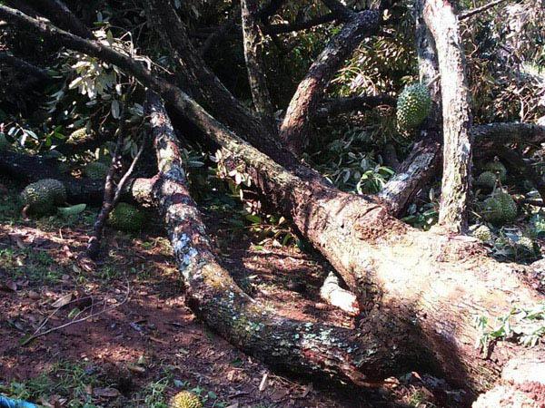 ชาวสวนน้ำตาร่วง... พายุลูกเห็บถล่มสวนทุเรียนภูเขาไฟกันทรลักษ์โค่นระนาว เสียหายอื้อ
