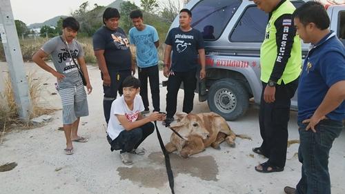 หน่วยกู้ภัยช่วยชีวิตลูกวัวตกท่อระบายน้ำลึกเกือบ 2 เมตร รอดหวุดหวิด