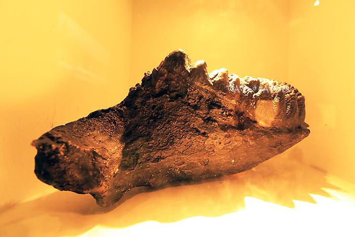 ฟอสซิลฟันกรามของช้างสเตโกดอนที่ขุดค้นพบ ปัจจุบันนำมาจัดแสดงในศูนย์วัฒนธรรมเฉลิมราช พิพิธภัณฑ์ช้างดึกดำบรรพ์ทุ่งหว้า