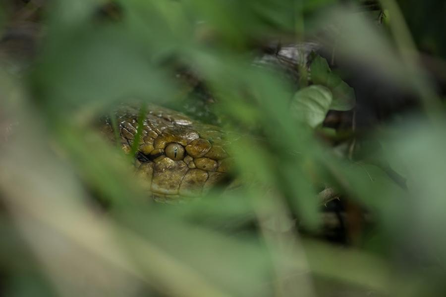 งูเหลือม (Reticulated Python)           Malayopython reticulatus (Schneider, 1801)           เขตรักษาพันธุ์สัตว์ป่าทุ่งใหญ่นเรศวรด้านตะวันออก อำเภออุ้มผาง จังหวัดตาก