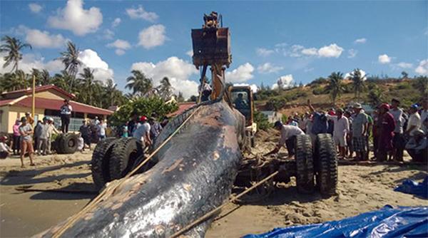 เวียดนับร้อยช่วยกันฝังคุณตาวาฬในสุสาน หนัก 10 ตันลากเข้าฝั่งประกอบพีธีกรรมเชื่อกุศลแรง