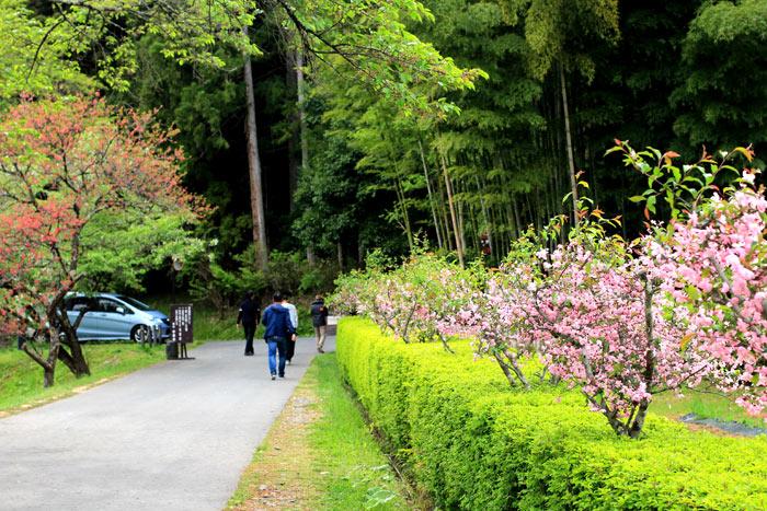 ทางเดินสู่ตัววัดจูซงจิในช่วงแรกจะเดินผ่านซากุระต้นเตี้ยๆที่กำลังออกดอกบาน