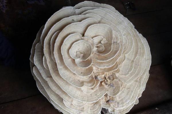 ตื่น! ชาวบ้านเจอเห็ดยักษ์ประหลาดคล้ายดอกกุหลาบ เชื่อเป็นสิริมงคล