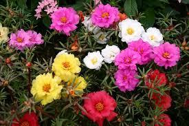 ดอกเซียงไฮ้ในสวนบ้านรุริโกะ