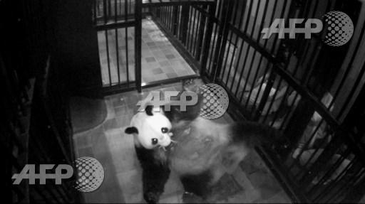 Japan zoo celebrates birth of panda cub