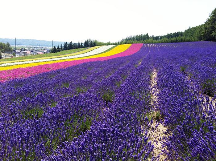 ทุ่งดอกลาเวนเดอร์ ฟุระโนะ ประเทศญี่ปุ่น  (ภาพ Booking.com)