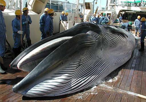"""ญี่ปุ่นเปิดฉาก """"ล่าวาฬ"""" ในมหาสมุทรแปซิฟิก"""