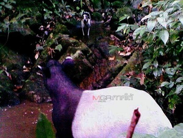 สมเสร็จ ตัวนี้ถูกสุนัขล่าสัตว์ล้อมไว้ แต่มีรายงานว่านายพรานในพื้นที่จะไม่ยิงสมเสร็จและเสือ แต่สัตว์ที่ถูกล่ามากที่สุดคือหมูป่า