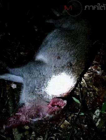 หมูป่า ถูกล่าในป่าสงวนแห่งชาติเทือกเขาวังพา