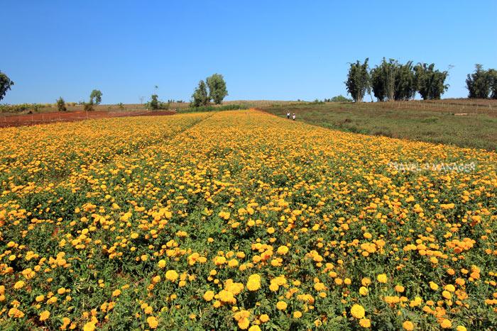 ดอกดาวเรือง อีกหนึ่งผลิตผลทางการเกษตรขึ้นชื่อของ อ.พบพระ