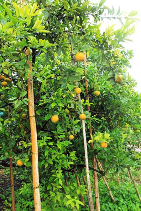 สวนส้มร่มเกล้าจะมีส้มหมุนเวียนกันออกทั้งปี