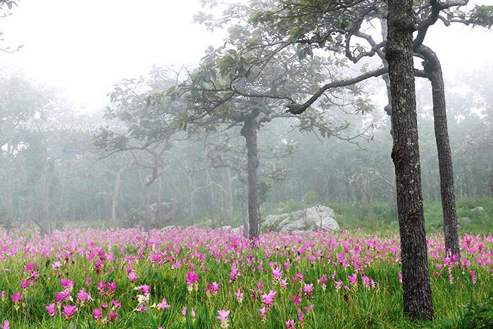 ทุ่งดอกกระเจียว ป่าหินงามยามเช้า ท่ามกลางสายหมอกลงบางๆ(ภาพ : จากแฟ้มภาพ)