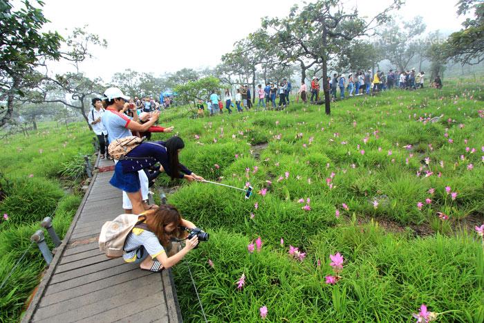 ทุ่งดอกกระเจียว อช.ป่าหินงาม กับเส้นทางที่กำหนดไว้ให้นักท่องเที่ยวเดินเที่ยวชม(ภาพ : 10 ก.ค.60)