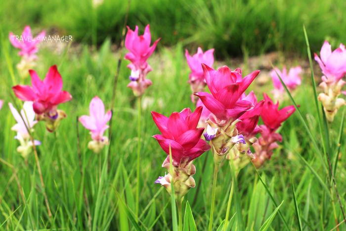 ดอกกระเจียว อช.ไทรทอง จะมีสีสดเข้มกว่า ดอกกระเจียว อช.ป่าหินงาม