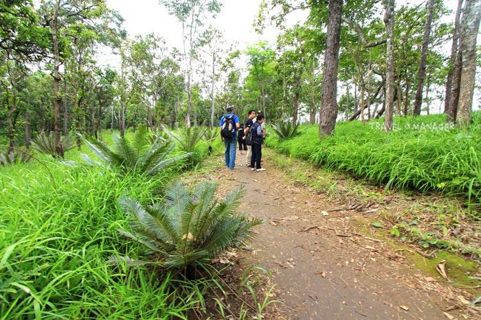 ต้นปรงจำนวนมากในเส้นทางเดินสู่ทุ่งดอกกระเจียว อช.ไทรทอง