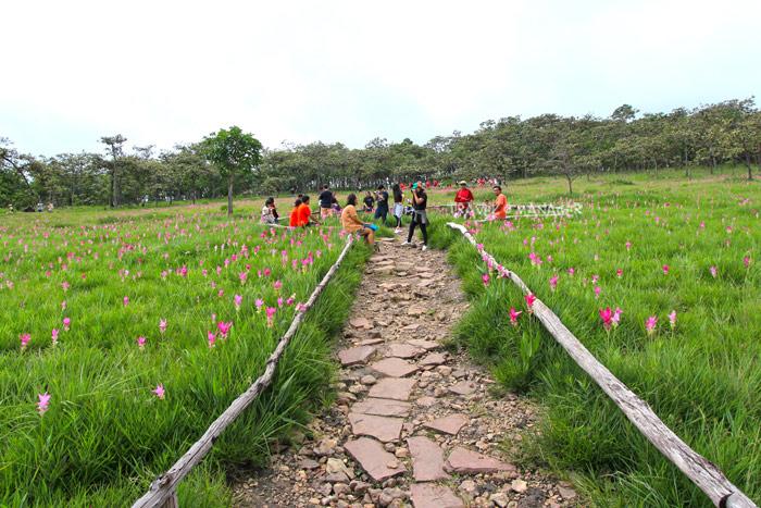 ทุ่งดอกกระเจียว อช.ไทรทอง แปลง 1 กับเส้นทางเดินเที่ยวชมที่ทางอุทยานฯจัดทำไว้