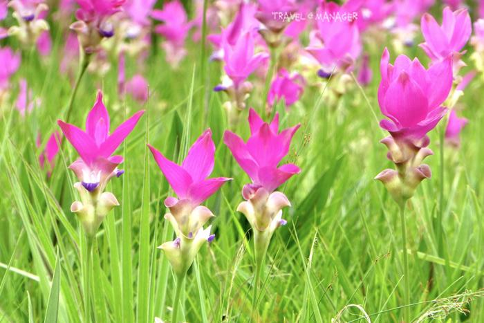 ดอกกระเจียว อช.ไทรทอง(ภาพ : 9 ก.ค.60)