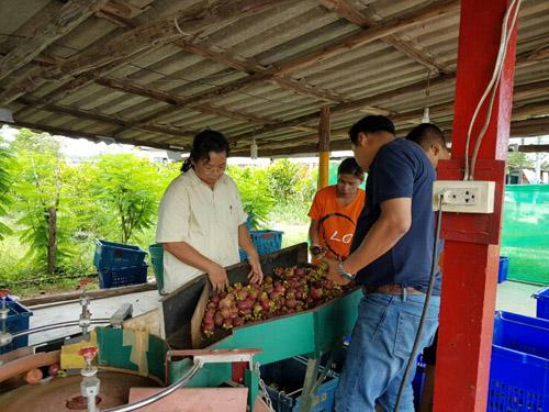 เกษตรอำเภอแกลงประสาน สวนนงนุช รับซื้อมังคุดช่วยเหลือเกษตรกรระยอง