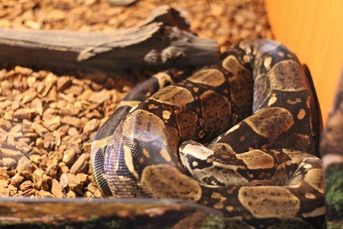 งูโบอาหางแดง (Boa Constrictor)