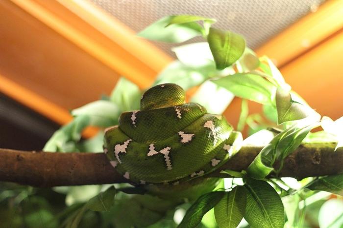 .งูต้นไม้มรกต (Emerald Tree Boa)