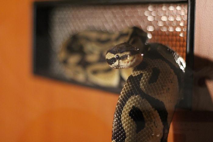 งูหลามบอล (Ball Python)