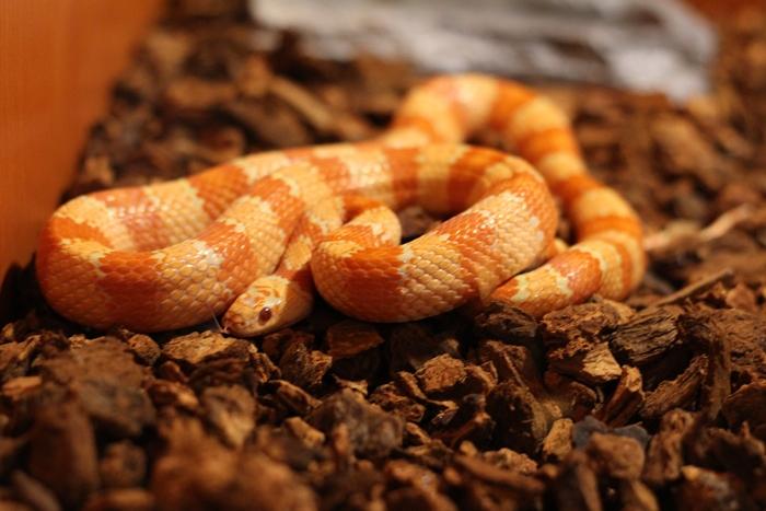 งูข้าวโพด (Corn Snake)