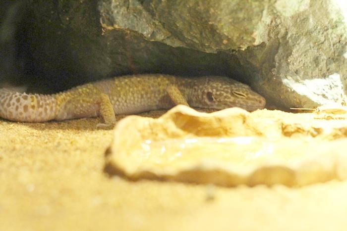 ตุ๊กแกเสือดาว (Leopard Gecko)