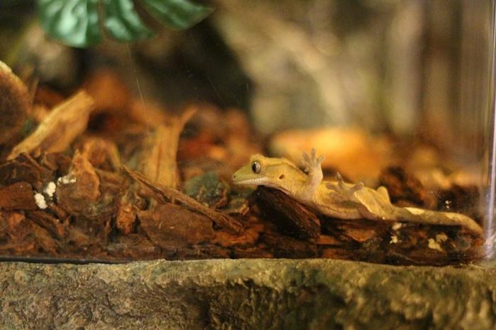 ตุ๊กแกคิ้วหนาม (Crested Gecko)