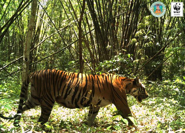 """ป่ารกเพราะเสือยัง! """"เขื่อนแม่วงก์"""" EHIA เกิดยาก เสือโคร่งเพิ่มนับสิบ ใกล้ปิดฉากโครงการอัปยศ"""