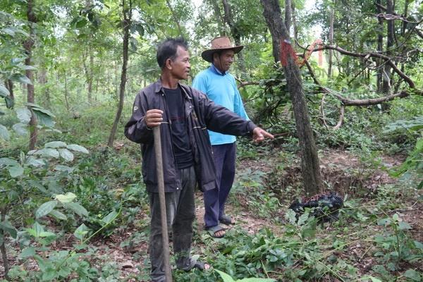 ต้นไม้ในที่ป่าห้วยเม็ก ที่เจ้าหน้าที่กระทิงแดง เตรียมถอนไปปลูกยังจุดอื่น