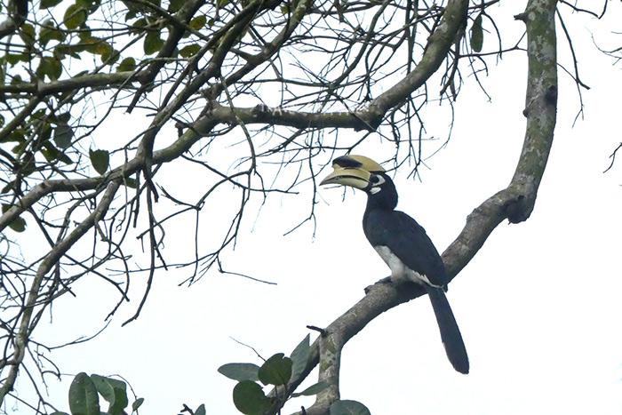 บนเกาะพยามมีโอกาสพบเห็นนกเงือก(นกแก๊ก)ได้บ่อยครั้ง