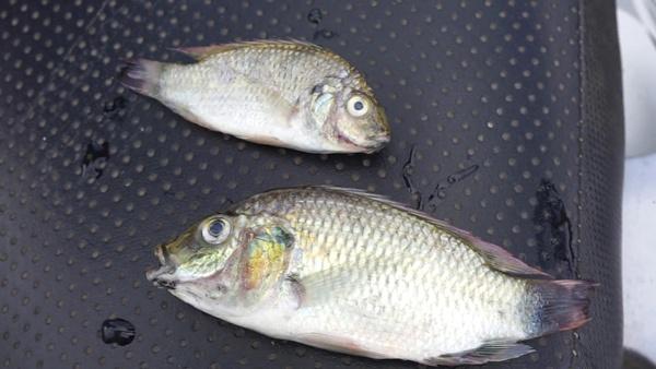 ระดมนักวิจัยประมง แก้ปัญหาปลาหมอคางดำระบาดหนัก หวั่นทำสัตว์ทะเลลดลง