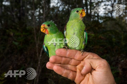 Massacre fears spark race to save rare Australia parrot