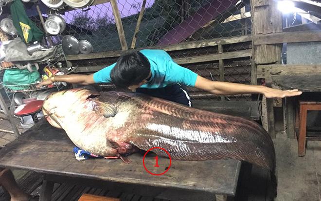ชาวลาวจับปลาคูนยักษ์หายากจากแม่น้ำโขง ยาวกว่า 2 เมตร หนัก 95 กก.ตัวแรกในรอบกว่า 4 ปี