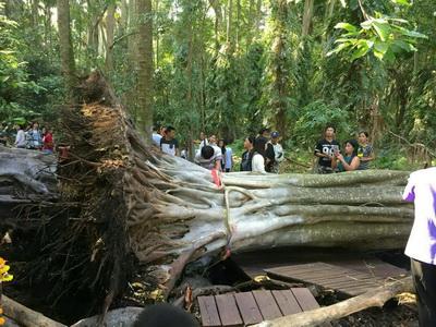 งง!ต้นไทรยักษ์เกาะคำชะโนดโค่นล้มอย่างปริศนา