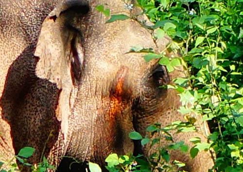 เตือน ปชช.- นทท.ห้ามเข้าใกล้ช้างสีดอตกมัน หากินใกล้สวนป่าทองผาภูมิ   จ.กาญจนบุรี