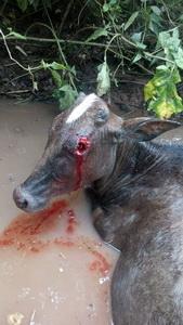 ภาพสยอง!หมาป่ารุมล้มแม่วัวกัดแทะกินลูกตา-ลำไส้