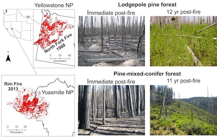 ป่าฟื้นตัวได้เองหลังจากเหตุการไฟป่า และทำการเลือกพืชเบิกนำเพื่อเจริญเป็นป่าต่อไป (ภาพ: http://www.actionbioscience.org)