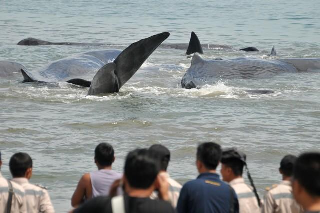 ลางบอกเหตุ!? ฝูงวาฬยักษ์เกยตื้นชายหาดอาเจะห์ ชาวบ้านอินโดฯช่วยไม่ทันตาย 4 เหลือรอด 6 (ชมคลิป)
