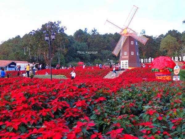 """ตื่นตาทุ่งคริสต์มาสสุดอลังการใน """"เทศกาลต้นคริสต์มาสภูเรือ"""" จ.เลย"""