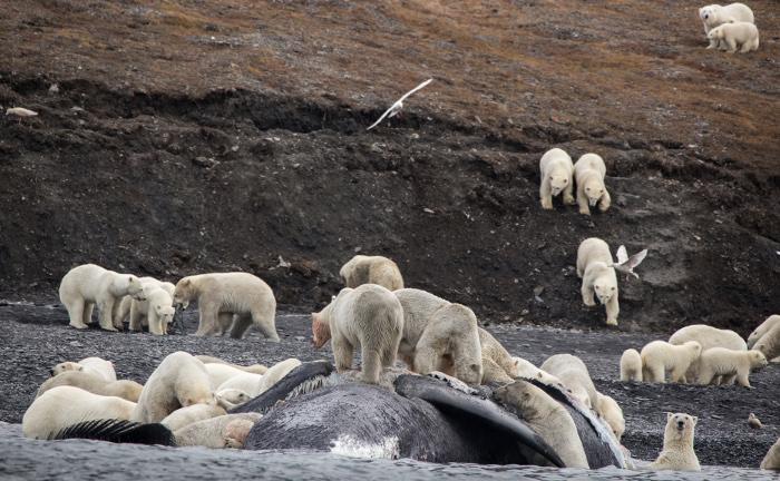 ภาพหมีขาวรุมทึ้งซากวาฬหัวบาตรเมื่อเดือน ก.ย.ที่ผ่านมา บริเวณชายฝั่งเกาะแรงเจลของรัสเซีย (Max STEPHENSON / HANDOUT / AFP )