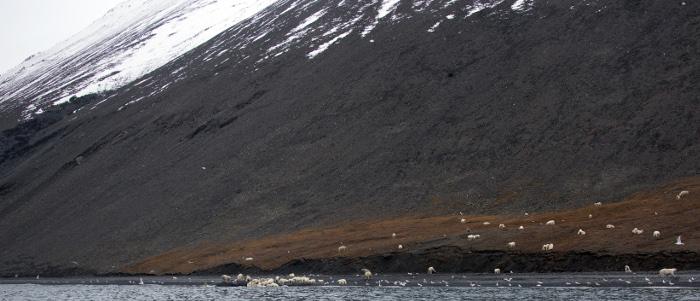 ภาพเกาะแรงเจลที่ฝูงหมีขาวลงมารุมกินซากวาฬหัวบาตร (Max STEPHENSON / HANDOUT / AFP )