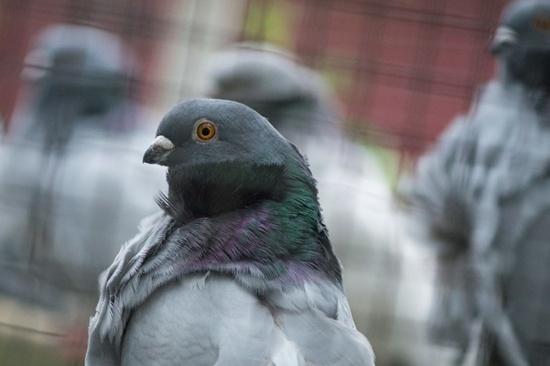 Pigeons no mere 'bird brains': study