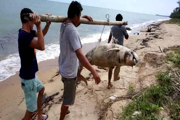 พบโลมาอิรวดีสีชมพู สัตว์หายากใกล้สูญพันธุ์ ตายเกยหาดที่ชุมพร