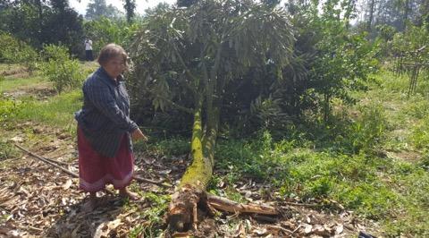 ชาวสวนทุเรียนป่าละอูน้ำตาซึม! ช้างป่าบุกกัดกินผลผลิตการเกษตรเสียหาย