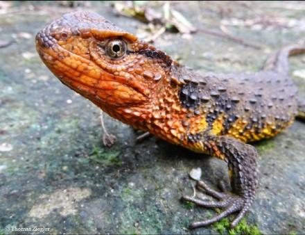 Shinisaurus crocodilurus vietnamensis