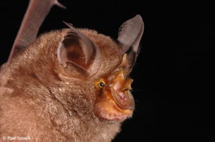 Rhinolophus monticolus